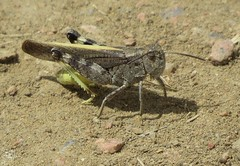Speckled Rangeland Grasshopper (Bug Eric) Tags: animals wildlife nature outdoors insects bugs grasshoppers acrididae oedipodinae orthoptera coloradosprings colorado usa arphiaconspersa northamerica april262019 sondermannpark