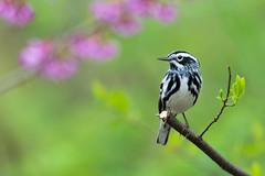 Spring Beauty (PhillymanPete) Tags: songbird perch wildlife woods mniotiltavaria forest bird woodwarbler redbudflower spring migration warbler blackandwhitewarbler nature nikon d500