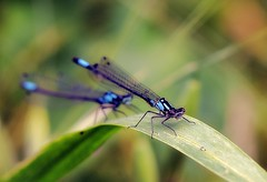 An exclamation or two (TJ Gehling) Tags: insect odonata zygoptera coenagrionidae damselfly exclamationdamsel exclamationdamselfly zoniagrion zoniagrionexclamationis albanyhill cerritocreek albanyca