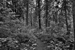 Definitely Some Greens in This Woods! (Black & White, North Cascades National Park Service Complex)