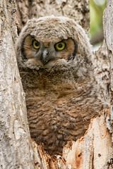 Owl (Gaby Swanson, Photographer) Tags: greathornedowl ohiowildlife owl owelet nature naturephotography naturephotographer mageemarshwildlifearea