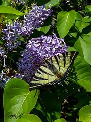Ein schöner Schmetterling (gabimartina) Tags: natur falter schmetterling tiere butterfly blüten blumen farbe frühling