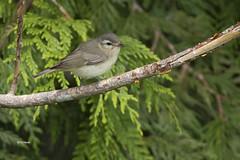 Warbling Vireo (featherweight2009) Tags: warblingvireo vireoswainsoni vireos westerngroup songbirds birds