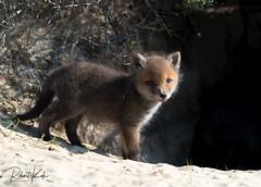 Vulpes vulpes/Renard Roux/Red Fox (Jambo53 ()) Tags: crobertkok nikond800