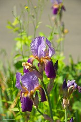 Sunny spring day (JSB PHOTOGRAPHS) Tags: 8008909 copy iris spring flowers