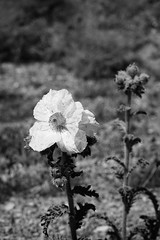 Prickly Poppy, Argemone corymbosa in B&W (srjarratt) Tags: 31415927007 super bloom 2019 pacific crest trail sony a7 bw black white