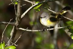 American Redstart (K to the Jay) Tags: americanredstart bird tamron 70300