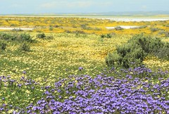 Superbloom at Carrizo Plain National Monument, on the shores of Soda Lake. (Ruby 2417) Tags: carrizo plain national monument soda lake spring superbloom bloom flowers wildflowers desert