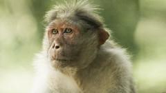 Looser (Renate Bomm) Tags: affe animal asien fe70300mmf4556goss green herkunft indien kumily sonyilce6000 wald woodhouse bokeh drausen monkey soft wildlebend wildlife outside nature portrait
