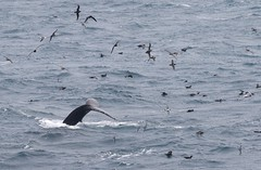 Humpback Whale tail up amongst seabirds in feeding frenzy (Paul Cottis) Tags: humpback whale mammal marine cetacean swim paulcottis southatlantic southgeorgia southernocean sea seabird 28 january 2019 jan feeding frenzy dive