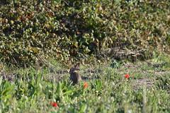 Un conejo (esta_ahi) Tags: lasaulonera conill conejo rabbit oryctolagus cuniculus oryctolaguscuniculus leporidae mammalia fauna santperemolanta olèrdola penedès barcelona spain españa испания