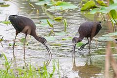 _5ND8104_LR_LOGO (Ray 'Wolverine' Li) Tags: hongkong bird birding birdwatch asia nature wildlife plegadisfalcinellus threskiornithidae pelecaniformes plegadis brauner sichler ibis
