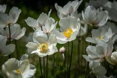 Spring Anemones (Bill Bowman) Tags: anemoneflowers anemonesylvestris spring queserasera