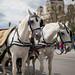 Weiße Fiakerpferde beim Wiener Heldenplatz