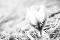 Coton cerné des neiges (La caverne aux trésors) Tags: flower fleur noiretblanc noir et blanc black white blackandwhite high key highkey alps alpes alpflower localflowers local found foraged collected treasure