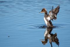 Wing Flap (NicoleW0000) Tags: hoodedmerganser divingduck duck bird wings water lake reflection nature wildlife outdoors ontario pose serratedbeak