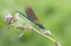 Beautiful Demoiselle (Calopteryx virgo). (Bob Eade) Tags: dragonflies beautifuldemoiselle demoiselle odonata rivercuckmere riverlife wildlife waterlife spring eastsussex sussex