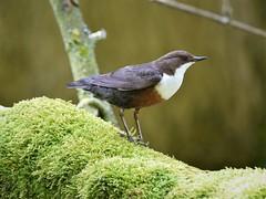 Dipper (doranstacey) Tags: nature wildlife birds dipper rivers lathkill dale derbyshire dales peak district tamron 150600mm nikon d5300
