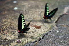 Rajah Brookes Birdwing Schmetterling (Trogonoptera Brookiana) (Mark 800) Tags: borneo 2019 malaysia gunungmulu national park sarawak rajah brookes birdwing schmetterling butterfly trogonoptera brookiana