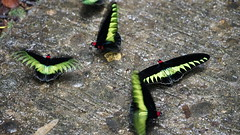Rajah Brookes Birdwing Schmetterling (Trogonoptera Brookiana) (Mark 800) Tags: borneo 2019 malaysia gunungmulu national park sarawak rajah brookes birdwing schmetterling trogonoptera brookiana butterfly