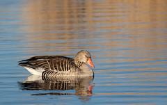 Greylag goose (Jens Hyldstrup Larsen) Tags: grågås greylaggoose anseranser anseriformes andefugle anatidae egentligeandefugle