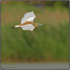 Sgarza ciuffetto (Ardeola ralloides) (vespa90ss) Tags: heron squacco crabierchevelu rallenreiher garcillacangrejera ardeidae uccelli birds aves