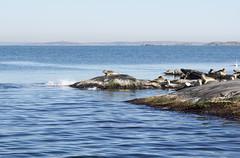 seal colony (helena.e) Tags: helenae husbil rv motorhome älsa påsk sälkoloni sealcolony säl seal water vatten hönöbåtturer klippor