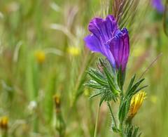 P1120640 (lauracastillo5) Tags: flowers flower floral wildflower nature natural purple lavender field green bloom blooming garden