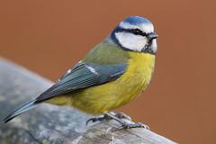Blue Tit at Denny Wood, New Forest (Art-G) Tags: wildlife bird bluetit dennywood newforest lyndhust southampton hampshire uk canon eos7dmkii bokeh sundaylights sigma150600c