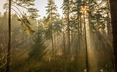 Delamere Forest Sunrise Rays #2 (Rob Pitt) Tags: delamere forest mist pine trees winter spring sony a7rii mere cheshire 1740 light beams rays sunrise sunbeam wood tree