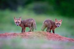Two FUR Tuesday... 😳😜. (DTT67) Tags: kits foxkits redfox fox maryland 1dxmkii 500mmii canon1dxmkii canon fur mammals animal nature wildlife