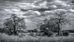 Zebras and Baobabs. Tarangire National Park. Tanzania. (juanjo_rueda) Tags: zebras africa safari landscape tarangire tanzania baobabs