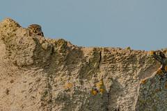 athene noctua / steinkauz (eric-d at gmx.net) Tags: littleowl athenenoctua eric ngc steinkauz strigidae kauz eule owl wildlife