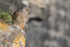 Kestrel (cliveyjones) Tags: kestrel falcon wildlife