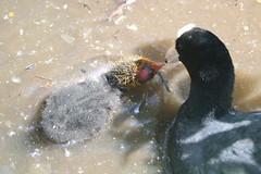 Coot feeding Chick. (Wildlife Terry) Tags: staffordshirewildlifetrust visitorcentre westportlake stokeontrent staffordshire wildfowl waterfowl birds feeding