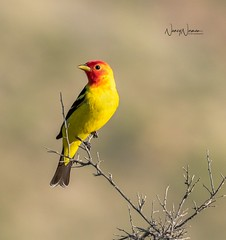 Western Tanager (N2NATURE PHOTOGRAPHY) Tags: western tanager male terlingua ranch texas brewster county