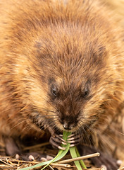 Muskrat Chow (Ronda Hamm) Tags: 100400mkii 7dii maumeebaystatepark ohio animal canon eating mammal muskrat nature wildlife