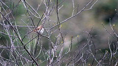 treeSparrow1 [dot] molecular model (GrfxDziner) Tags: tree sparrow spizelloides arborea grfxdziner dc kerimccarthydrive gwennie2006 dcmemorialfoundation canon rebel t6 rebelt6 eos efs 75300mm