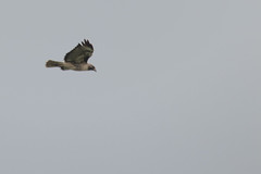 IMG_9800 (armadil) Tags: prairie ranchocorraldetierra bird birds flying hawk hawks raptor raptors rth redtailedhawk