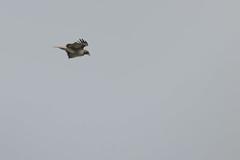 IMG_9802 (armadil) Tags: prairie ranchocorraldetierra bird birds flying hawk hawks raptor raptors rth redtailedhawk