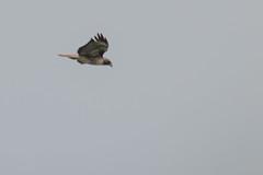 IMG_9803 (armadil) Tags: prairie ranchocorraldetierra bird birds flying hawk hawks raptor raptors rth redtailedhawk