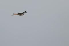 IMG_9808 (armadil) Tags: prairie ranchocorraldetierra bird birds flying hawk hawks raptor raptors rth redtailedhawk