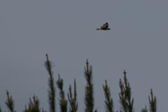 IMG_9818 (armadil) Tags: prairie ranchocorraldetierra bird birds flying hawk hawks raptor raptors rth redtailedhawk