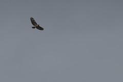 IMG_9832 (armadil) Tags: prairie ranchocorraldetierra bird birds flying hawk hawks raptor raptors rth redtailedhawk