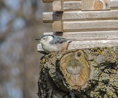 White-breasted Nuthatch (S.E.A. Photography) Tags: photography tree canada ontario spring nature bird nuthatch whitebreastednuthatch