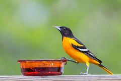 Rainy May and the Oriole (dshoning) Tags: oriole rain green may iowa jam orange feed
