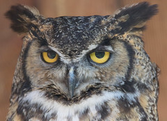 Horned Owl (edhendricks27) Tags: owl bird raptor wildlife animal nature canon