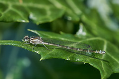Azure damselfly Highdown gardens #2 (Lord V) Tags: macro bug insect highdown gardens damselfly azure
