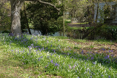 Beauty of Spring (Jocey K) Tags: newzealand christchurch flowers spring northhagleypark building house river avon avonriver water shadows trees bluebells
