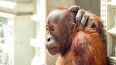 Hello - 6796 (✵ΨᗩSᗰIᘉᗴ HᗴᘉS✵85 000 000 THXS) Tags: orangoutan baby animal sony sonydscrx10m4 pairidaiza portrait belgium europa aaa namuroise look photo friends be yasminehens interest eu fr party greatphotographers lanamuroise flickering